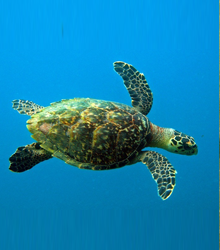 GREEN SEA TURTLE - Photo by Fotopedia