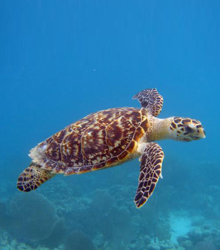 HAWKSBILL SEA TURTLE - Photo by Sea Turtles Dot Org