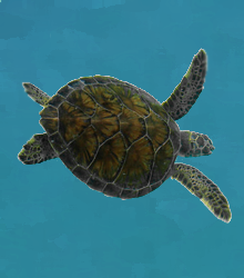 KIMPS RIDLEY SEA TURTLE