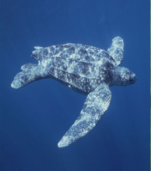 LEATHERBACK SEA TURTLE - Photo by Salem News