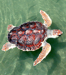 LOGGERHEAD SEA TURTLE - Photo by NOAA