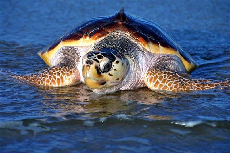 Sea Turtles in Texas Sea Turtles Are Large